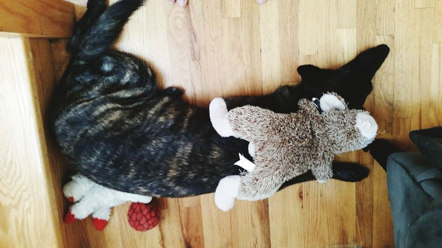 High angle view of dog and cat at home