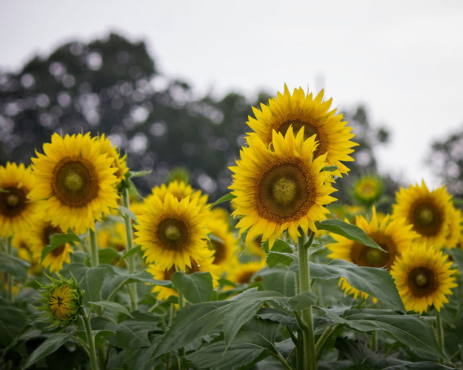 Sunflower Heads Flower Yellow Flowering Plant Freshness Fragility Plant Growth Flower Head Beauty In Nature Petal Close-up Nature Sunflower Field Focus On Foreground Day No People Outdoors Springtime