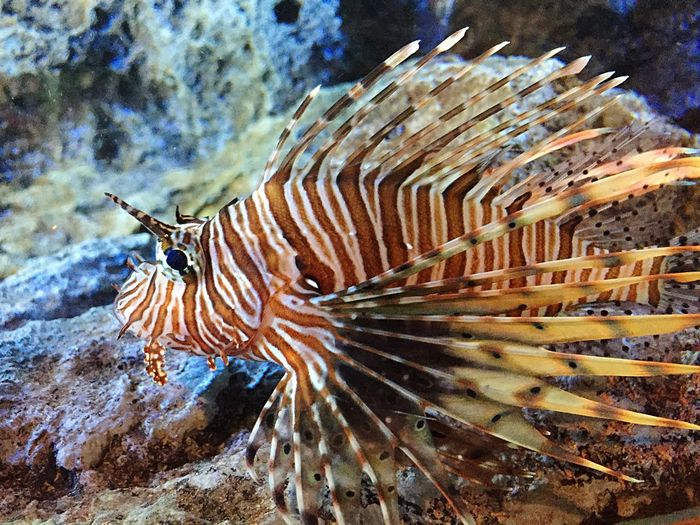 One Animal Animal Themes Animals In The Wild Sea Life Underwater Animal Wildlife UnderSea No People Sea Nature Close-up Outdoors Day Thailand Fish Lionfish Fish Tank