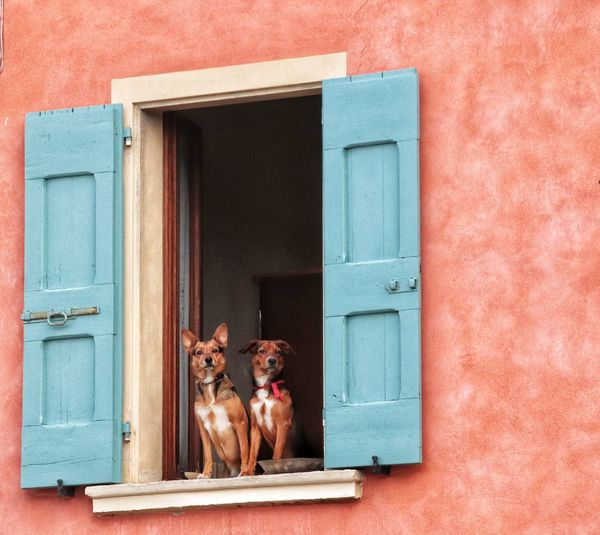 Portrait of a dog on window of house