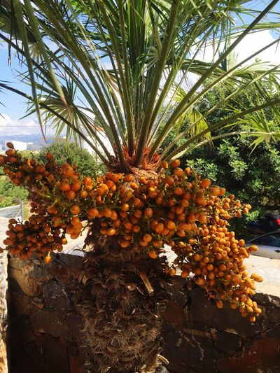 Palm Trees Orange Eye4photography  EyeEm Nature Lover Freshness Nature Tropical Fruit Wellbeing No People Food Day Healthy Eating Fruit Palm Tree Date Palm Tree Orange Color Growth Date Tropical Climate Food And Drink Beauty In Nature Plant Tree Dried Fruit