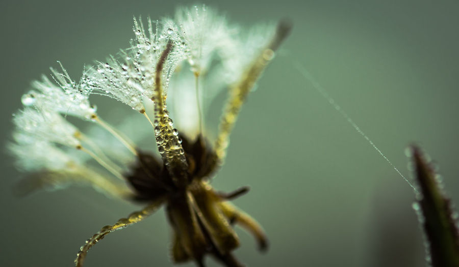 Morgentau Plant