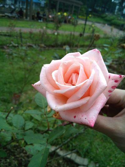 Nofilter Noflash Peach Rose Rose🌹 Rose♥