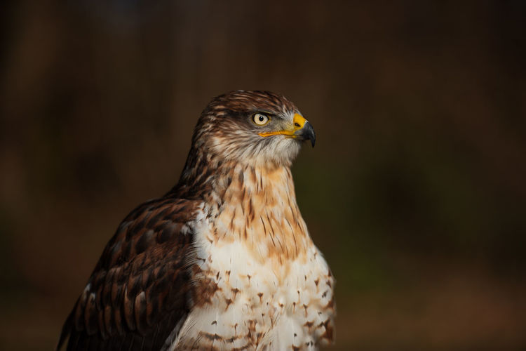 Birds Of EyeEm  Bird Photography Birds Eyeem Birdphotography EyeEm Birds Nature Photography Nature_collection Animal Body Part Nature No People Focus On Foreground Looking Away Close-up Bird Bird Of Prey Animal Themes Animal One Animal Buteo Regalis Ferruginous Hawk