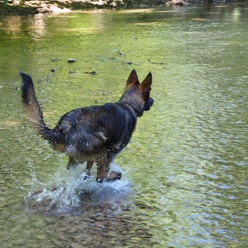 dog or kangaroo? Puppy My Pet German Shepherd Puppy Dog Park Summer Swimming Dog Working Dog Sable Water Pets Swimming Dog German Shepherd Lake Animal Themes