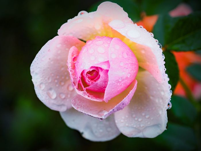 close up pink rose covered with rain drops Pink Petals Beauty Botanic Spring Rainy Days Flower Collection Flower Photography Moist Rose Plant Flower Pink Color Petal Nature Flower Head Beauty In Nature Close-up Water Rose - Flower Plant Drop Wet Growth Peony  Freshness