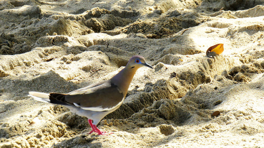 A beautiful turtle dove walking in the sand on a beach Animal Themes Animal Bird Animals In The Wild Vertebrate Animal Wildlife Land Sand Beach Nature No People One Animal Seagull Sunlight Day Outdoors Water Close-up Side View Sea Turtle Dove Dove - Bird