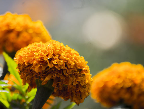Flower Yellow Plant Nature Close-up Flower Head Beauty In Nature Diademuertos Flordecempasuchil Streetphotography Photography Themes Canonphotography MadeInMexico