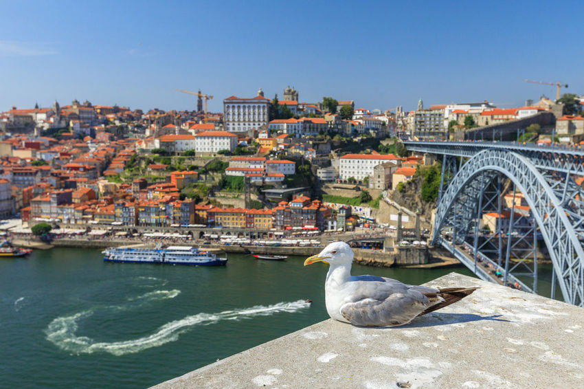 Seagull looking at the city of Porto skyline. Freedom and travel concept. Aerial view of iconic Dom Luis I Bridge on Douro River on the horizon with blurred background. Portugal Porto Tourism City Aerial View Cloudscape Cityscape Landscape Panorama Europe People Church Church Architecture Architecture Town Porto Portugal 🇵🇹 Monment Oporto City Oporto Downtown Oporto Streets Seagull Bridge River Sea Built Structure Building Exterior Transportation Water Nature Sky Animal Themes Animal Wildlife Animals In The Wild Animal Day One Animal Vertebrate Bridge - Man Made Structure Bird Connection Clear Sky No People Outdoors Arch Bridge