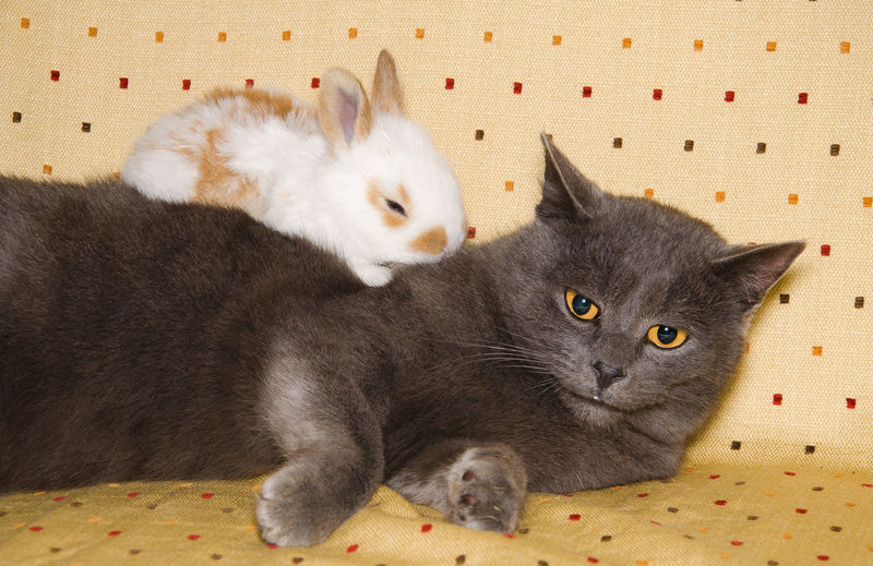 Baby bunny sleeping over european grey cat Easter European Cat FUNNY ANIMALS Animal Animal Head  Animal Themes Bunny  Cat Crazy Moments Domestic Cat Farm Animal Feline Grey Cat Mammal Pets Portrait Puppy Puppy And Kitty Love Rabbit Sleeping Studio Shot Sweet Togetherness Whisker Young Animal