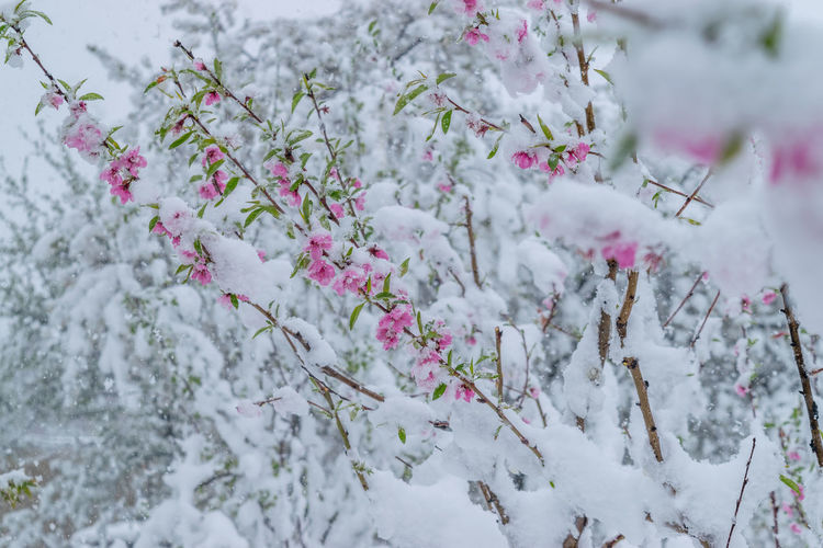Cherry blossom tree during winter