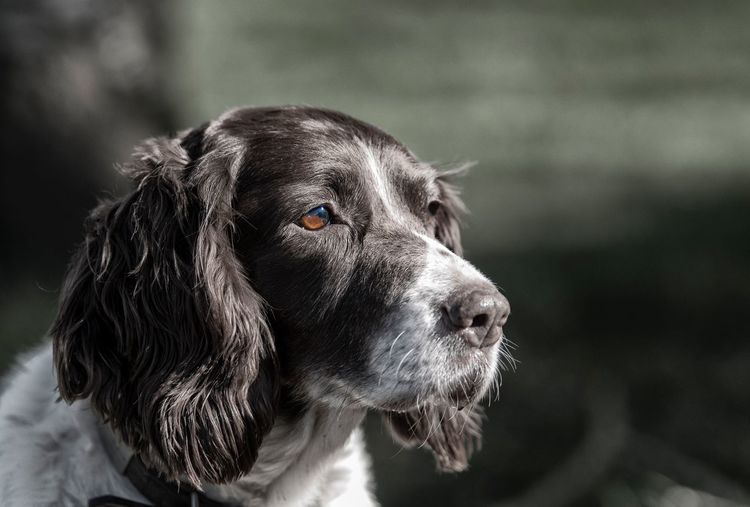 Close-up Of English Springer Spaniel Looking Away