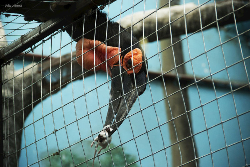 Close-up of hornbill holding rat seen through chainlink fence