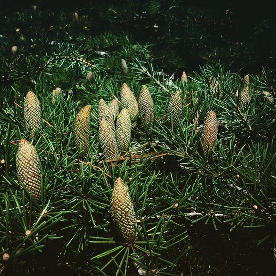 Polen Polinization Nature Tree arbol rama branch cedar garden fertility park delicate