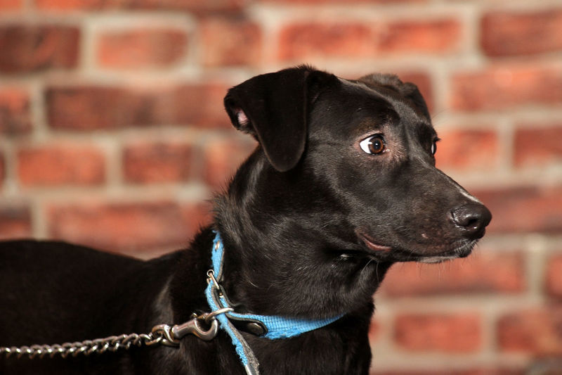 Black dog looking away against wall