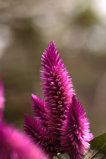 Purple pink flower of Celosia, also known as cockscomb or woolflowers, bloom in Africa, Mexico and even China as a perennial in gardens in summer. Africa Beauty In Nature Celosía Close-up Day Flower Flower Head Flowers Fragility Freshness Fuzzy Garden Nature No People Outdoors Pink Pink Color Plant Purple Flower