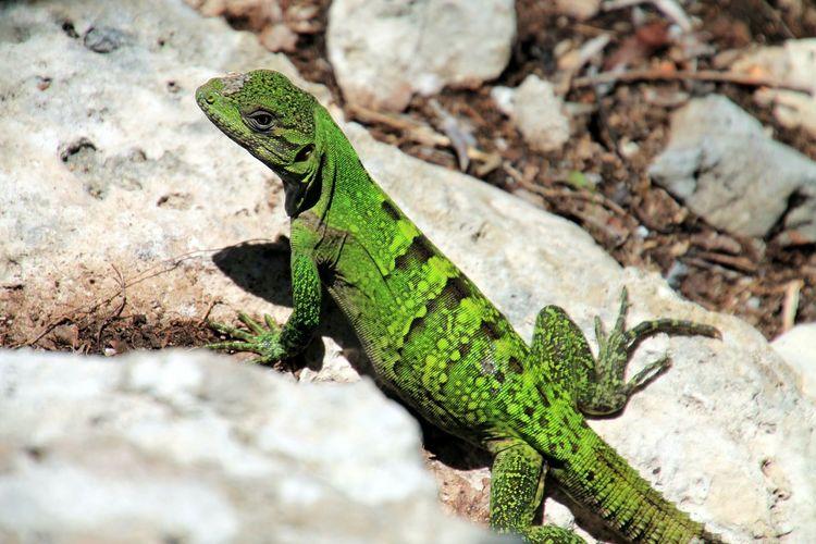 High Angle View Of Green Lizard On Rocks