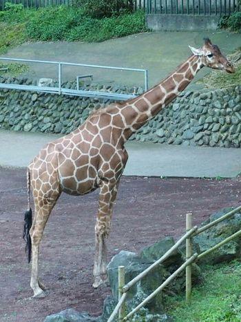 Animals Relaxing Taking Photos Zoo Zoo Animals  Animals Giraffe