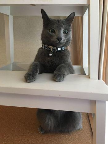 Cat RussianBlue Lovely Kitten Mycat