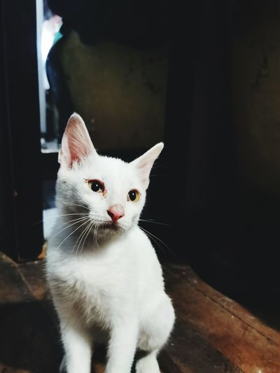 Cat Amusement White Pets Portrait Kitten Feline Looking At Camera Sitting Domestic Cat Cute Animal Themes Close-up Whisker Animal Eye Cat Animal Face At Home