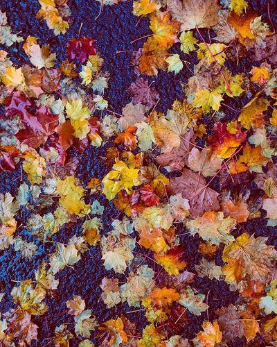 Autumn is here Autumn Photography Goldenoctober October Goldenseason Photographer Leaves Fallenleavesontheground Fallenleaves Blackberry Germanphotographer Fotografie L4l F4F Orange Red Yellow Colorful 90k4u
