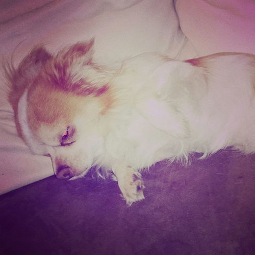 Dog Chiuaua Relaxing Relax Sleepy Sleep Chihuahua My dog - Wąski! First Eyeem Photo