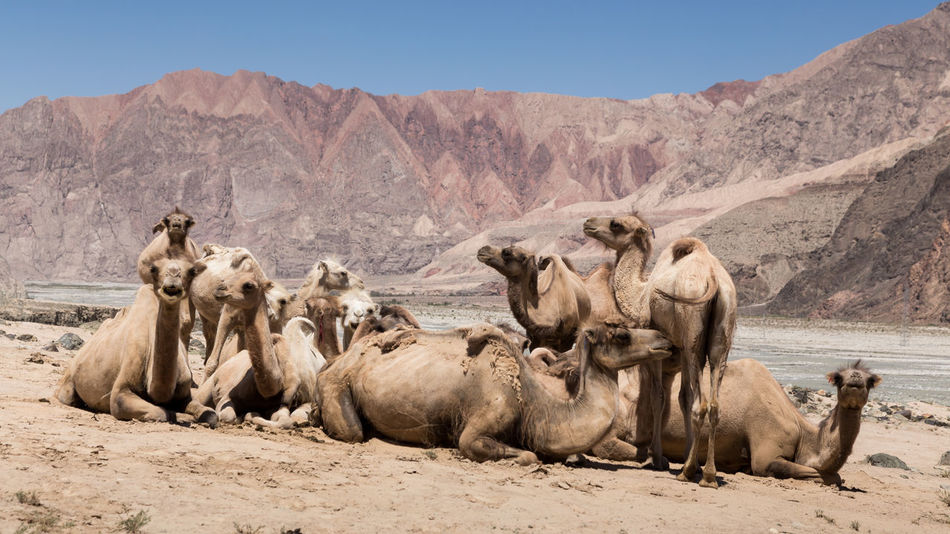 Camels resting together in north west China Animal Themes Arid Climate Camels Desert Landscape Mammal Mountain Nature No People Outdoors Sand