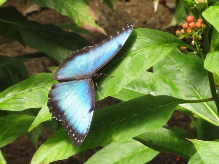 Mariposa Morpho Peleides Blue Morpho Blauer Schmetterling Butterfly Macro Photography Macro Beauty