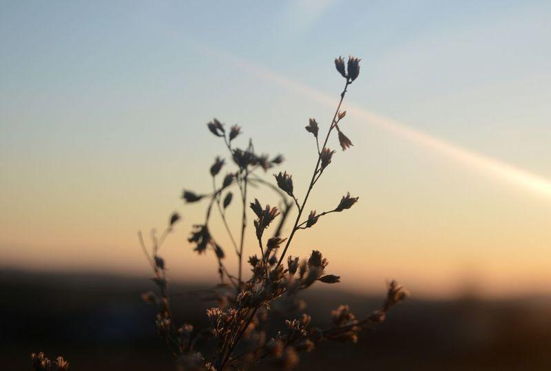 Growth Plant Nature Beauty In Nature Sunset Silhouette Scenics Flower Sky Outdoors Day Non-urban Scene Growing Slovakia🇸🇰 Nikon D3200 Yellow Nikon Freshness Slovakia Europe Sunny Sunlight Plant Slovakia Nature