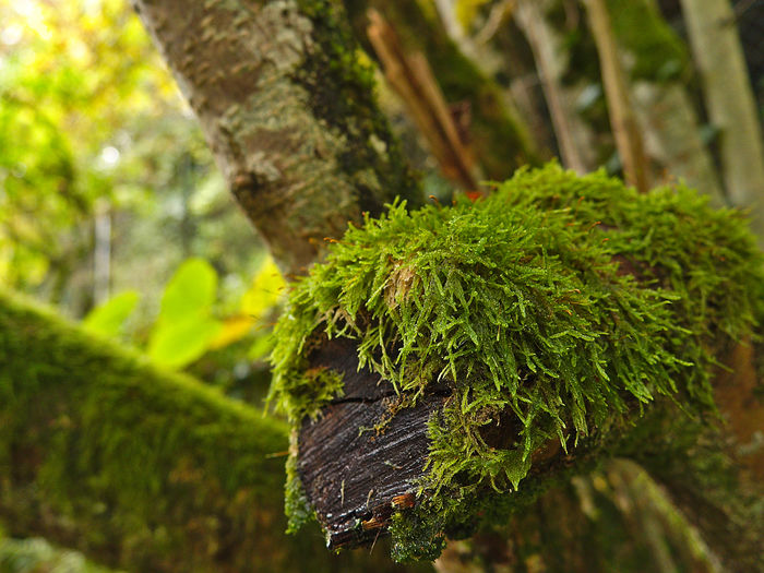Beauty In Nature Branch Close-up Day Focus On Foreground Green Color Growth Leaf Nature No People Outdoors Plant Tranquility Tree Wood And Moss