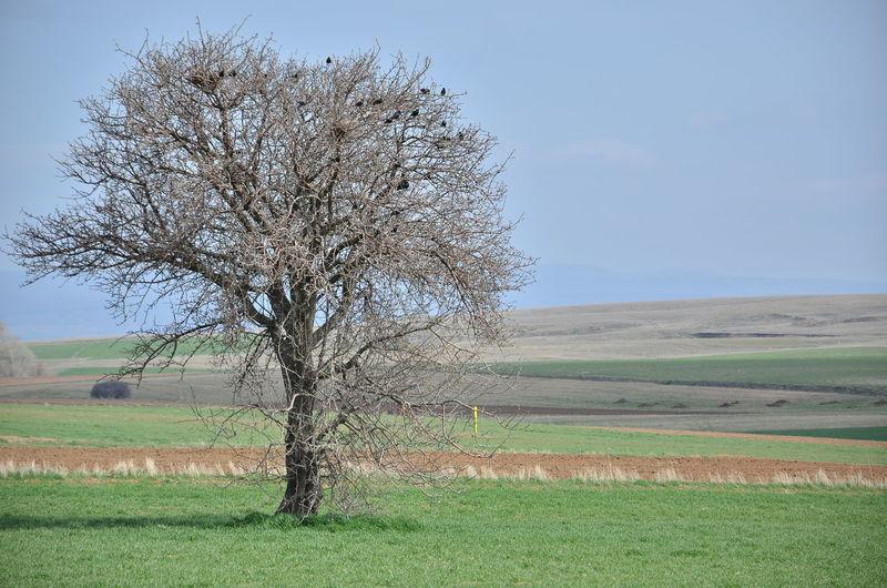 alıç ve sığırcıklar Tree Rural Scene Agriculture Field Sky Grass Landscape