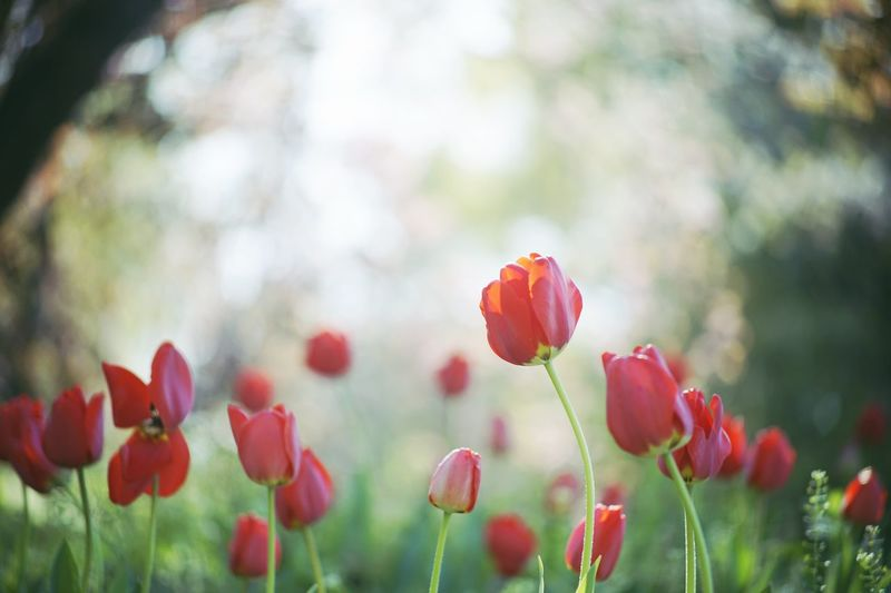 Tulips blooming on field