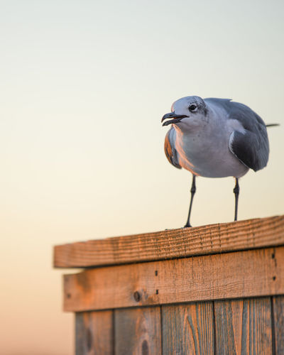 Close-up of seagull perching on wooden post against a sunset
