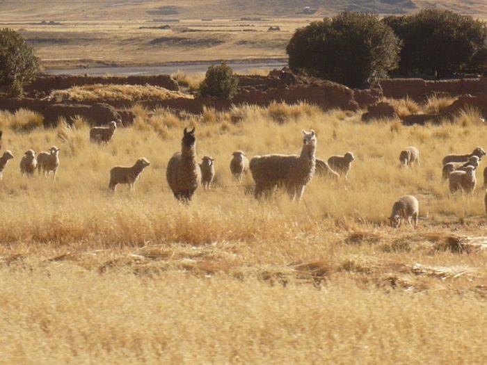 Sheep and lamas on pasture