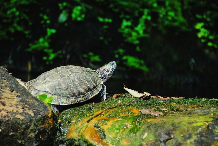 Turtle Animal