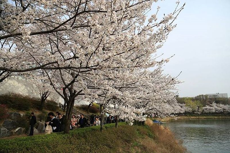 Cherry blossom at Seokchon lake Shot with EOS6D Seoul_korea Seochonlake Seoulcitytravelphotography Nature Seokchonlakepark