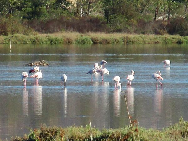 Fenicotteri Fenicotterorosa Flamingos Pond Pond Life Sardinia Showcase: February Wild Wildlife Wildlife & Nature Lanscapes With Whitewall Showcase April Nature's Diversities The Essence Of Summer On The Way Fine Art Photography My Favorite Place