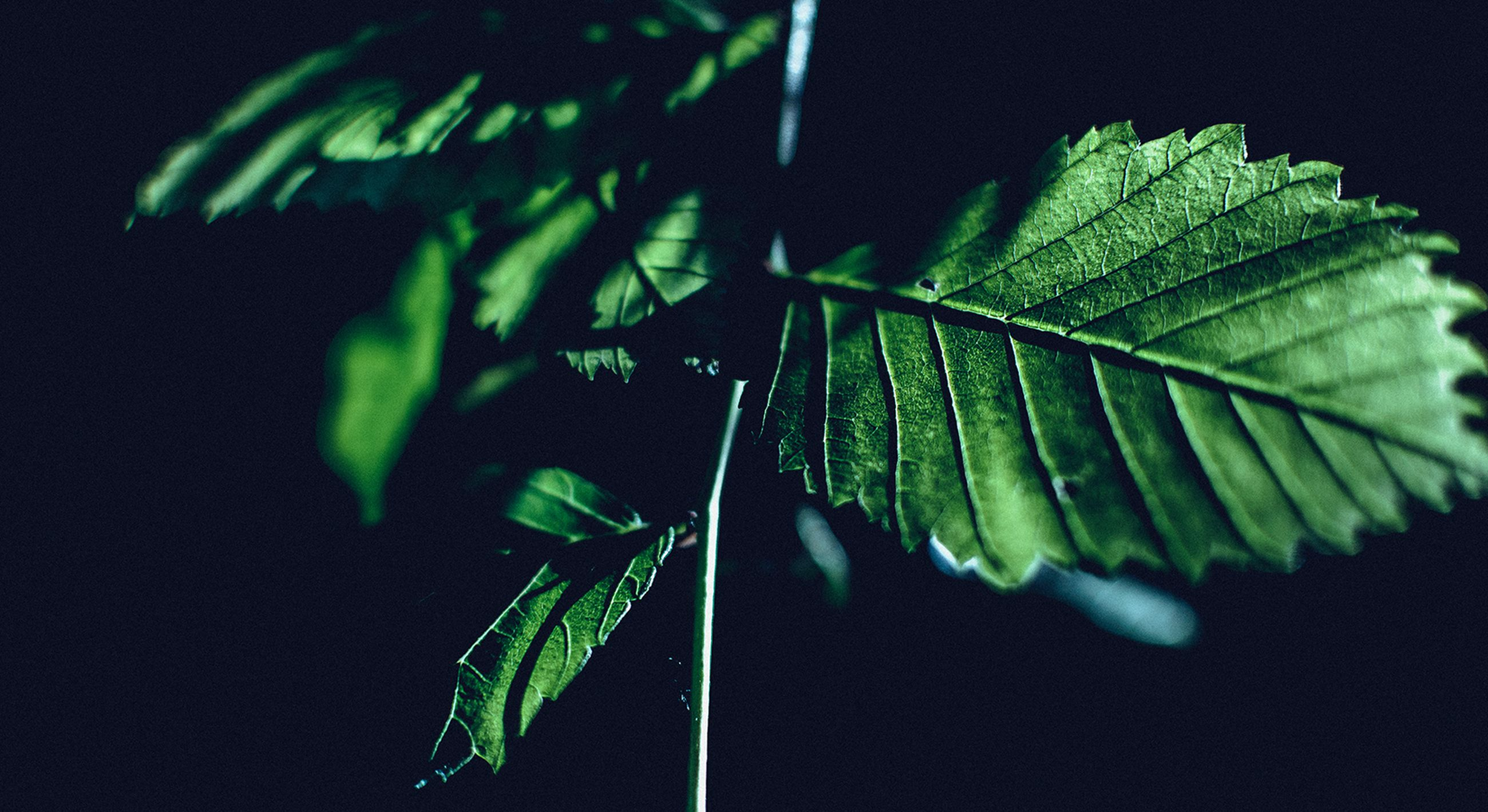 leaf, green color, close-up, leaf vein, focus on foreground, growth, plant, nature, studio shot, black background, leaves, beauty in nature, selective focus, night, natural pattern, green, stem, no people, outdoors