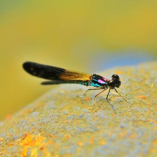 Mohon pencerahannya bg @sianakdesa ini hewan apa Ig_dragonflies Instacelebes_macro Ig_indonesia_macro Bns_buginsects Macrophotography Ultimate_macro Instagallery_ina Insta_aceh Sengajaphoto Greatshotz Exclusive_animals Bns_macro Ig_shutterbugs Wu_indonesia Mybest_indonesia Macronusantara Showcase March