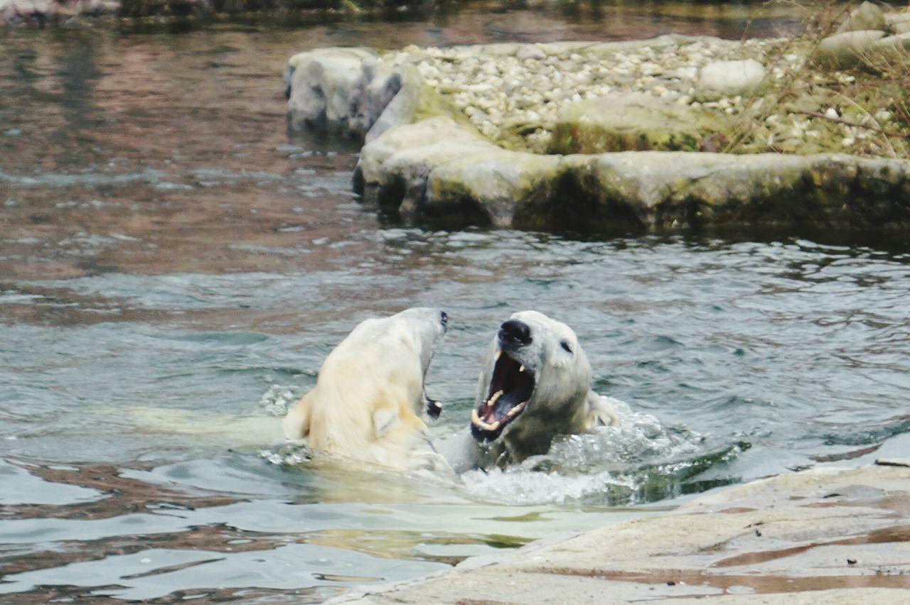 Polar Bear In Lake