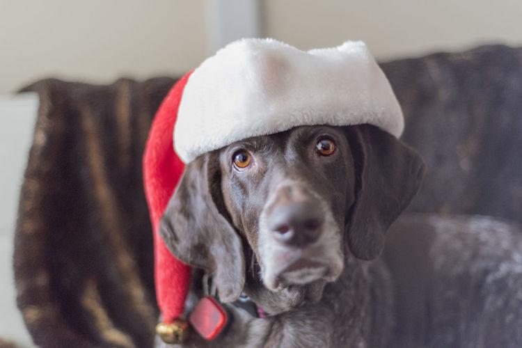 Portrait of german shorthair pointer wearing santa hat on sofa