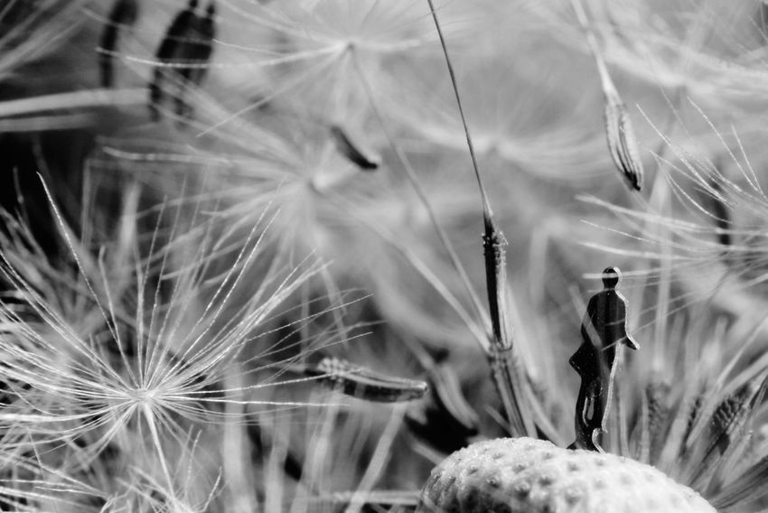 Nature Beauty In Nature Plant Dandelion Close-up Macro_flower Storm Macro Photography Macro Art 13gramm Close-up Flower Head EyEm New Here Miniatureart Lost In The Landscape Discover Berlin Black And White Friday