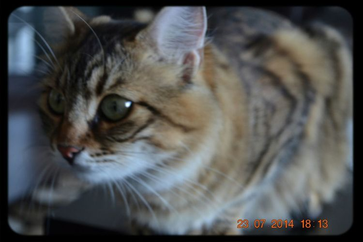Little Lady  Cat Tekir Hurrem