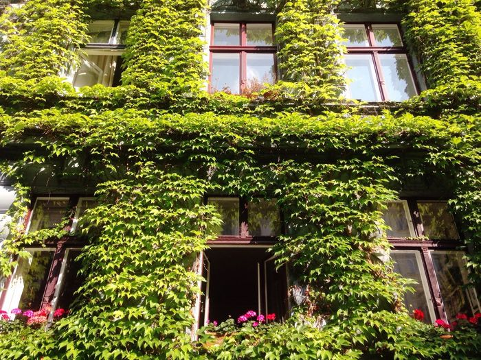 Colourful walls. Green Flowers Vines Windows Draped Colors Wall - Building Feature Natural Decoration Decor