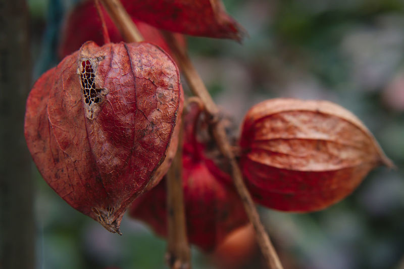 Close-up of winter cherry plant