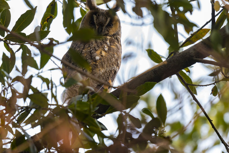 Owl Animal Animal Photography Animal Themes Animal Wildlife Animals In The Wild Animals In The Wild Beauty In Nature Bird Bird Photography Birds Birds Of EyeEm  Birds_collection Branch Low Angle View Nature No People One Animal Outdoors Owl Tree Wild Wildlife Wildlife & Nature Wildlife Photography