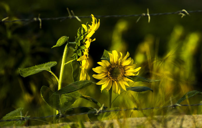 Freedom Out Of Control Sunflower Beauty Of Nature Beauty Outside Nature Blooming Close-up Day Field Flower Freshness Growth Nature No People Out Of Jail Outdoors Plant Yellow AI Now Capture Tomorrow