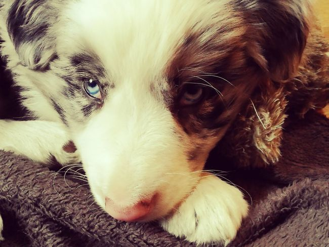 Border Collie Blue Eyes Blue Merle Dogs Pets Portrait Dog Looking At Camera Close-up Puppy