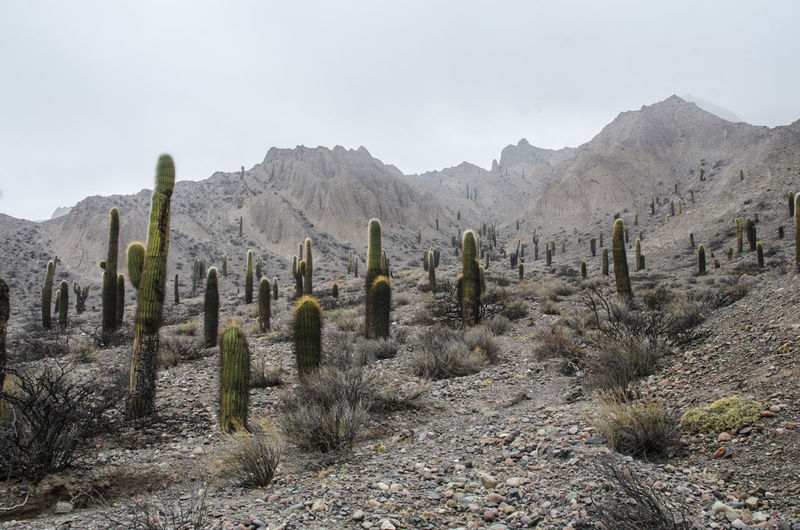 Cactus Argentina Beauty In Nature Desert Isolation Mountain Nature No People Outdoors Plant Rock Southamerica Tranquil Scene