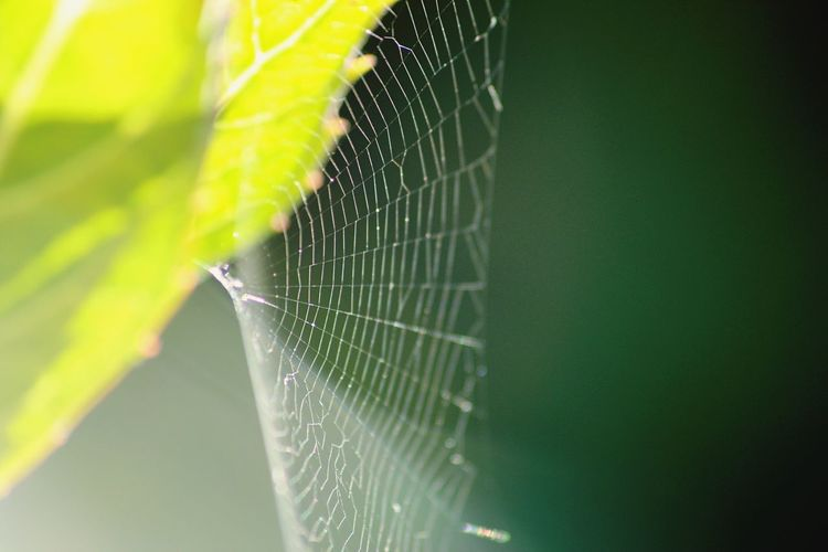 Spider Web One Animal Close-up Focus On Foreground Animal Themes Animals In The Wild Nature Insect Spider Day Green Color No People Web Outdoors Animal Wildlife Fragility Beauty In Nature Victoria Yyj CRD Victoria Bc